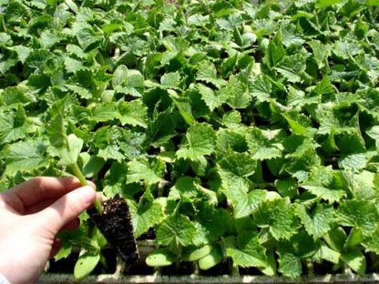 Plantas Hortícolas em tabuleiro