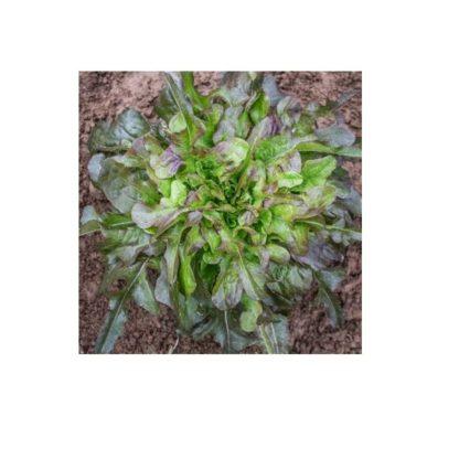 Sementes Alface Cocarde Bio