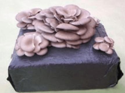 cogumelospleurotes